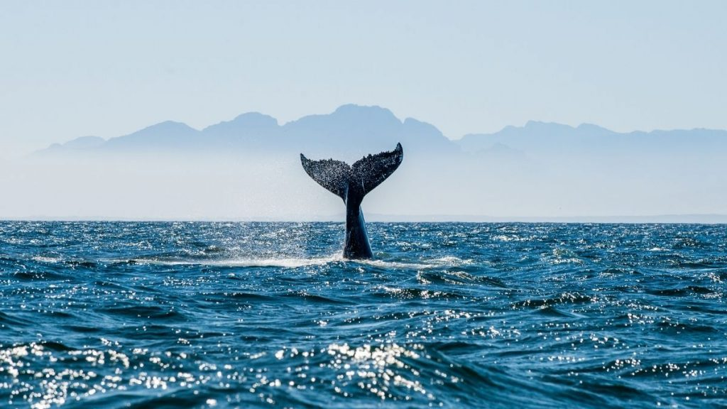 where to go whale watching on big island featured image