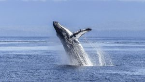 where to see whales on the San Juan Islands - featured image