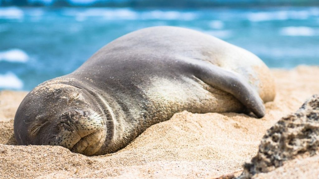 where to see seals in Hawaii - featured image